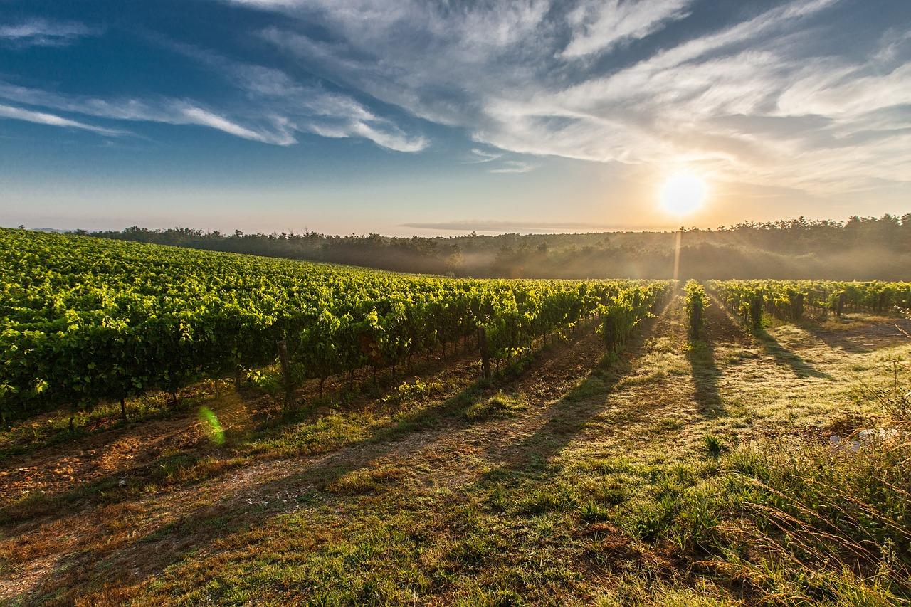 wijnplantage